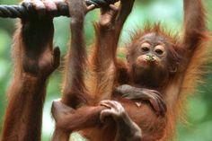 Sepilok Orang Utan Sanctuary in Sabah, Malaysia (Borneo) Malaysia Travel, Asia Travel, Borneo, Orangutan Sanctuary, Baby Orangutan, Viewing Wildlife, Primates, Southeast Asia, Habitats