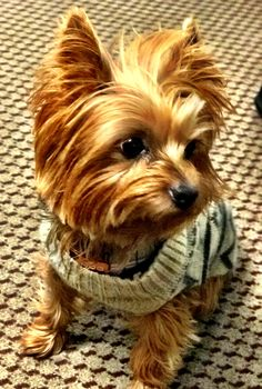 "Explore our internet site for additional details on ""yorkshire terrier dogs"". It… Explore our internet site for additional details on ""yorkshire terrier dogs"". It is an excellent location to get more information. Yorkies, Puppies And Kitties, Yorkie Puppy, Cute Puppies, Pet Dogs, Dog Cat, Poodle Puppies, Chihuahuas, Yorkshire Terrier Puppies"