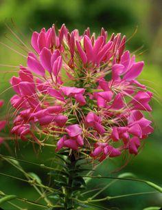 Spinnt nicht rum – die Cleome zeigt sich einjährig auf vielen farbigen Blütenbeinen...