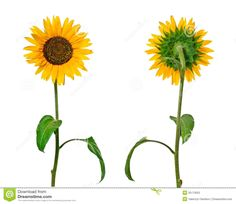 sunflower-front-back-views-isolated-clipping-path-35173053.jpg (1300×1127)