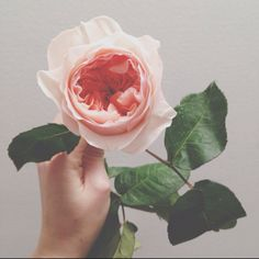 Apricot rose loving - photo by ameliamay