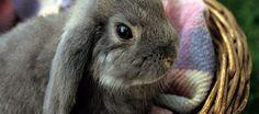 Allevare un coniglio in appartamento può essere un esperienza gratificante e molto bella, l'importante è seguire una serie di accorgimenti che possono garantire un ottima convivenza e la piena salute del piccolo roditore.    http://www.petsparadise.it/conigli/consigli-su-come-mantenere-un-coniglio-in-appartamento/