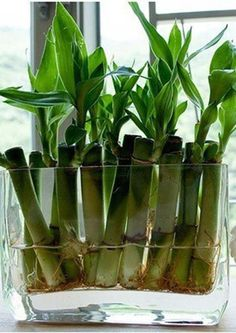 Bambu. Planta segura para perros y gatos