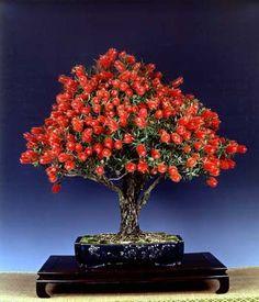 Bonsai… Callistemon sp. - Myrtaceae