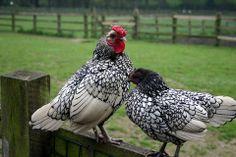 Silver laced Wyandotte--brown eggs; average 210 eggs per year per hen. Pretty birds, too!