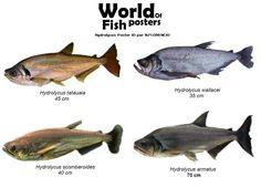 Oscar Fish, Fish Chart, Fish Friday, River Monsters, Aquatic Ecosystem, Monster Fishing, Exotic Fish, Aquarium Fish, S Pic