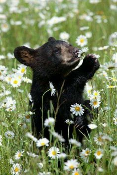 Bear Cub smelling a flower