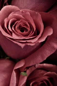 ~~ roses ~~ that COLOR!! mauve, dusty rose, beautiful!! I want lipstick this color!