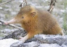 Sometimes I like a species because the passion of the people who are trying to protect it inspires me. Joe Nunez and the Last Survivors project to protect the Hispaniolan solenodon and hutia are one such example. Chief Seattle, Living Fossil, Creature Feature, Unique Animals, Mammals, Fun Facts, Nature Photography, Projects, Conservation