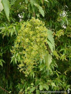 Plagianthus regius - manatu/lowland ribbonwood Tall Shrubs, Small Trees, Banks, Herbs, Google Search, La Ceiba, Growing Up, Plants, Herb