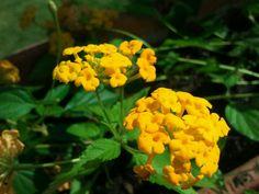 Flor amarilla de la lantana al atardecer Yellow Flowers, Plants