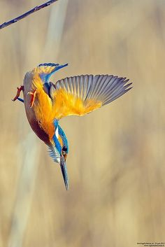 il missile!!!! by taronik ~ Link to outstanding pix of kingfishers!                                                                                                                                                                                 More