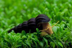 Tylomelania sp. | ©Attila Fekete  The elephant snail, Tylomelania sp. (Pachychilidae), a freshwater snail endemic to Sulawesi, in Indonesia.