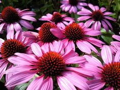 Where does Echinacea come from?