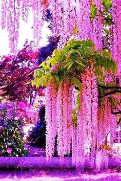 (2) Magnetiseur (@Magnetiseur16) / Twitter Beautiful Flowers Garden, Amazing Flowers, Pretty Flowers, Beautiful Gardens, Cascading Flowers, Unusual Flowers, Beautiful Nature Wallpaper, Beautiful Landscapes, Wisteria Tree