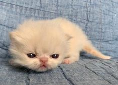 Persian and himalayan kittens for sale Pretty Cats, Cute Cats, Himalayan Kittens For Sale, Different Breeds Of Cats, Kitten For Sale, Cat Breeds, Cats And Kittens, Persian, Bugs
