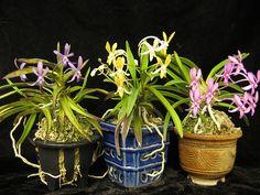 Orchid: Darinara 'Rainbow Stars' - Trio-of-Colors