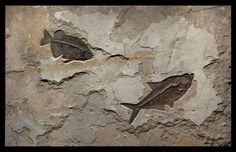 Fossil Fish Mural 6638