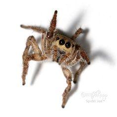 Female Habronattus coecatus jumping spider