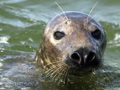 gray seal - Google Search