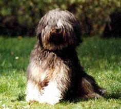 tibetan Terrier photo | Tibetan Terrier Tibetan Terrier, Afghan Hound, Terriers, Dog Breeds, Pitbulls, Animals, Beautiful, Animales, Animaux