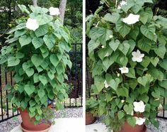moonflower in pot
