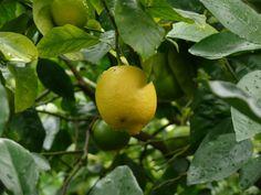 Kennst Du das Land, wo die Zitronen blüh'n