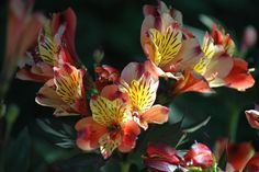 Alstroemeria - Floriferous Garden - Find your Horticultural Society and learn everything about Flowers and Gardening Tropical Flowers, Yellow Flowers, Colorful Flowers, Flowers Name List, Peruvian Lilies, Comment Planter, Herbaceous Border, Pot Plante, English Country Gardens