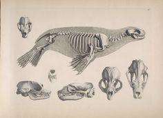 South American sea lion / skeleton Carnivora Otariidae Otaria flavescens
