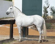 Lusitano - stallion Uivador Da Broa (Oceano - Zapatera II; Nilo) | Stallion AI Services