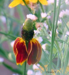 Prairie Coneflower - Mexican Hat Summer at Cedarmere in the Blue Ridge