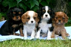 HERE ARE THE 4 TYPES OF Cavalier King Charles Spaniels Black & Tan, Blenheim, Tricolor and Ruby