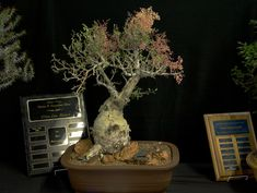 A trophy winning example of the Baja California native succulent Pachycormus discolor, shown at the 2007 show