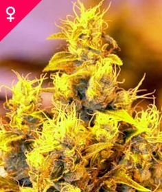 NYC Diesel Feminized Seeds NYC Diesel Feminized is an all-female Sativa-Indica cannabis hybrid which combines great potency and yield with a deliciously exotic flavour.  BUY YOUR SEEDS HERE: http://weedseedshop.com/refer.asp?refid={28DF3583-3A1A-4991-93C0-FB5E09CF94DB}&PLU=1580006&l=1