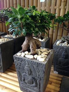 Restons zen avec un Ficus 'Ginseng'  Avec ou sans Bouddha sur son pot, cette plante ou bonsaï d'intérieur est tellement peu exigeant et si facile à cultiver qu'il ne devrait pas vous faire perdre votre zénitude jardinière. Mais résistant ne veut pas dire qu'il faut le soumettre aux pires conditions et traitements.  http://www.pariscotejardin.fr/2013/02/restons-zen-avec-un-ficus-ginseng/