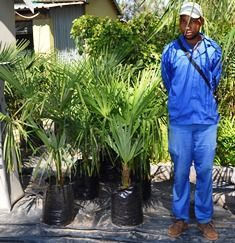 """Trachycarpus fortunei (Chinese windmill palms) for sale in bags.   Vaild while stocks lasts.  Compact, single stem palm with brown """"hair"""" on stem.   Plant in full sun to semi-shade.   Evergreen.  Cold and frost hardy.   Waterwise.   Ideal as a focal palm tree.  Sms your email address ref.BC to 0823478212 and we will send you a price list accordingly.  EOG stock available directly from our farms.        We also offer trees sales and delivery, sourcing and procurement of plant material, ..."""