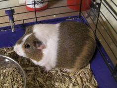 Snickers is an adoptable Guinea Pig Guinea Pig in Woodbridge, NJ.  ...