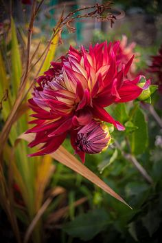 Dahlia 'Rouge' by Mike Reid