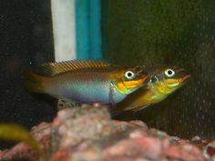 Pelvicachromis taeniatus Lokoundje