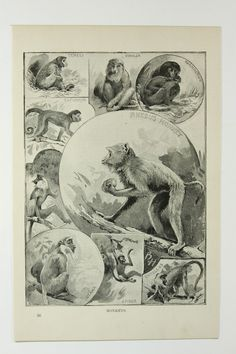 monkeys vintage animals #vintage #animals #monkeys