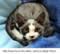 Devon Rex Cat on a blue background