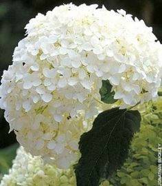 Huge white flower on this hydrangea arborescens. #hydrangeaarborescens #hydrangea