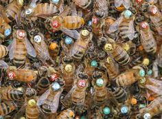 bees with a painted dot on their backs for identification purposes