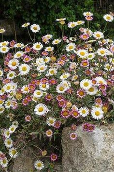 Santa Barbara daisy / Erigeron karvinskianus Rock Garden Plants, Cottage Garden Plants, Gravel Garden, Cottage Garden Borders, Cottage Garden Design, Alpine Garden, Alpine Plants, Coastal Gardens, Small Gardens