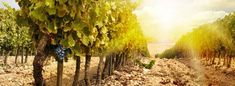 Taking a New Look at Old Vines | Wine-Searcher News & Features Wine Searcher, Wine News, Wine Education, Chile, New Look, Vines, Vineyard, Take That, California