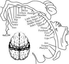 Homunculus and brain