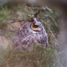Hibou Moyen Duc, photo de Jesse R Gordon   _____________________________________ Long-eared owl, looks like just a tree troll tucked away in his tunnel of green...   Photo by Jesse R Gordon