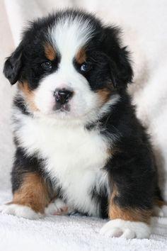 Burmese Mountain Dog Puppy - want one!!