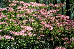 Native Azalea-Canescens--It is about ft.Photo taken Garden Photos, Flowering Trees, Nativity, Gardens, Flowers, Plants, Christmas Nativity, Blooming Trees, The Nativity
