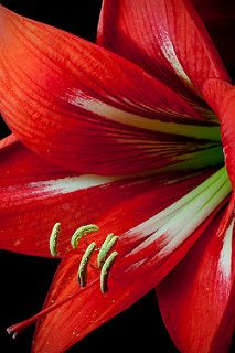 """""""amaryllis"""" ~ """"a genus of South American bulbs. the common name """"amaryllis"""".widely used as indoor flowering bulbs. The generic name Amaryllis (capital A) applies to bulbs from South Africa, usually grown outdoors. Colorful Roses, Exotic Flowers, Amazing Flowers, Beautiful Flowers, Amarillis, Planting Flowers, Flowers Garden, Flower Arrangements, Orchids"""